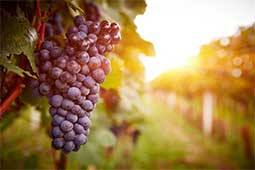 Health, Hair and Skin Benefits of Grape Juice